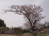 130406 岡成池 桜の巨木.jpg