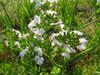 130414 大根の白い花.jpg