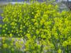 130417 風に揺れる菜の花.jpg