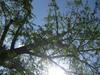 130421 イチョウと太陽.jpg