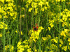 130426 菜の花と蝶.jpg