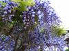 130427 藤の花.jpg