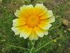 130430 春菊の花.jpg