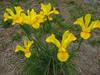 130516 黄色い花.jpg