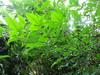130615 雨に濡れた庭の木.jpg