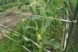 130625 トウモロコシの穂.jpg