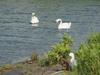 130731 淀江の白鳥.jpg