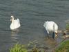 130731 白鳥の夫婦.jpg