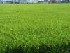 130818 稲の生育状況.jpg