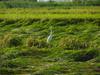 130909 倒れた稲と白鷺.jpg