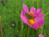 130913 秋桜の花.jpg