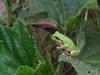 130914 オクラの葉にアマガエル.jpg