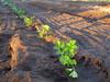 131001 冬野菜の苗.jpg