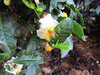 131015 お茶の花とミツバチ.jpg