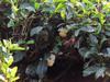 131015 お茶の木とスズメバチ.jpg