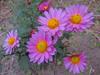 131031 鮮やかな菊の花.jpg