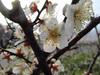 140311 梅の花っぽい.jpg