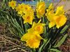 140316 黄色い花.jpg