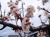 140322 梅干し梅の花.jpg