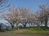 140404 壺瓶山山頂の桜.jpg