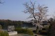 140408 岡成池の桜.jpg
