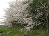 140410 壺瓶山下の桜並木.jpg