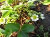 140414 イチゴの花.jpg