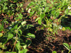 140414 イチゴ畑を蝕むクローバー.jpg