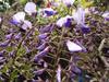140421 藤の花 開花.jpg