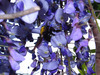 140427 クマバチと藤の花.jpg