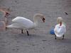 140504 淀江の白鳥.jpg
