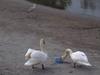 140507 白鳥と青鷺.jpg