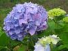 140611 雨に濡れた紫陽花.jpg
