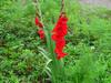 140706 赤い花.jpg