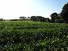 141014 茶畑と壺瓶山の山頂.jpg