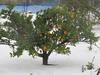 141218 ミカンの木.jpg