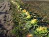 150314 ムクドリに荒らされた野菜.jpg