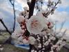 150329 梅の花 アップ.jpg
