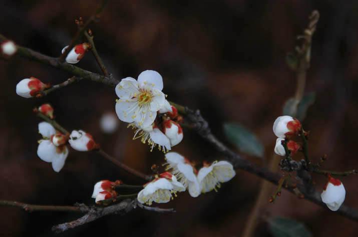 090223 梅の花は4分咲きくらい.jpg