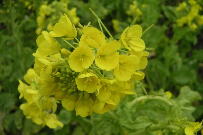 090225 畑の菜の花.jpg