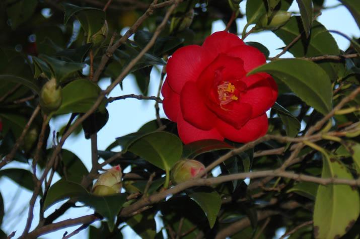 090306 椿の花.jpg