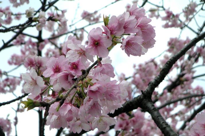090319 本の学校前で咲く一足早いサクラ.jpg