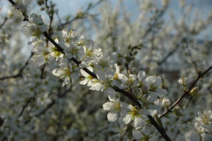 090325 白い花が満開.jpg