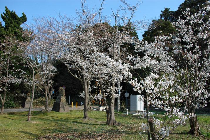 090329 日吉神社の桜.jpg