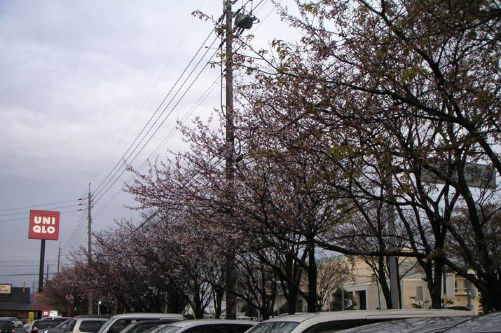 090404 本の学校前にある桜並木.jpg