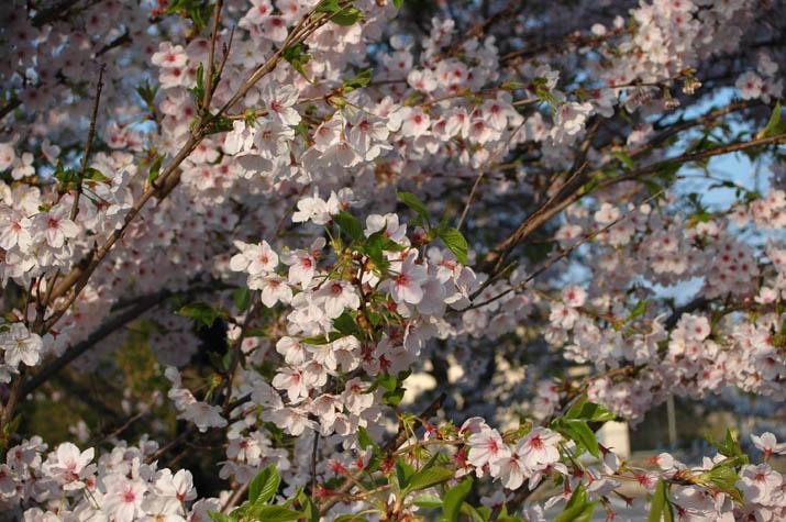 090412 日吉神社の桜.jpg