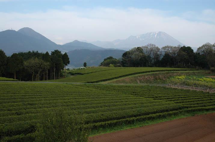 090415 壺瓶山の茶畑と大山.jpg