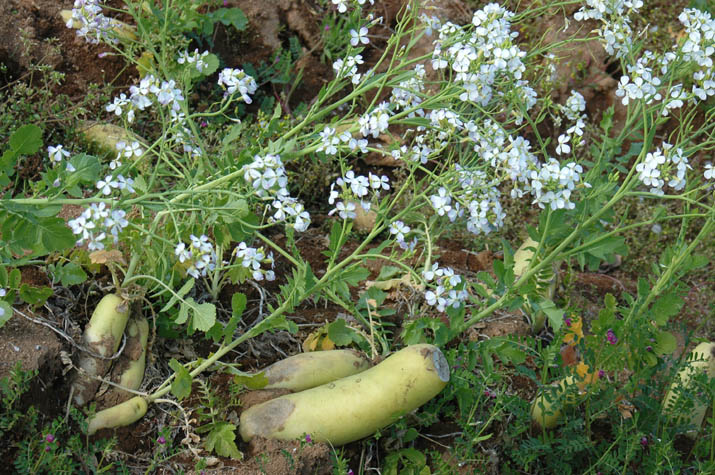 090416 白くて可愛いダイコンの花.jpg