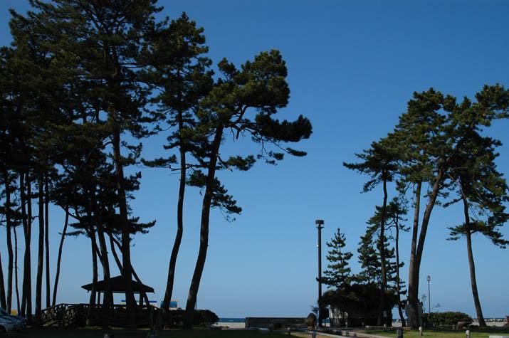 090418 シルエットに浮かぶ皆生公園の防風林.jpg