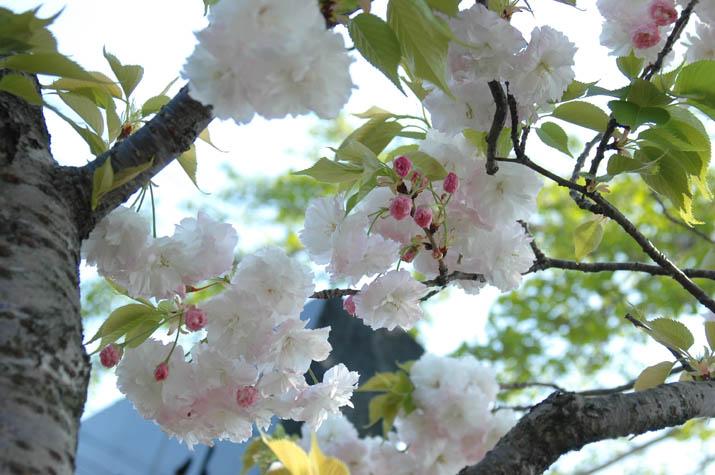 090419 大和公民館の八重桜.jpg